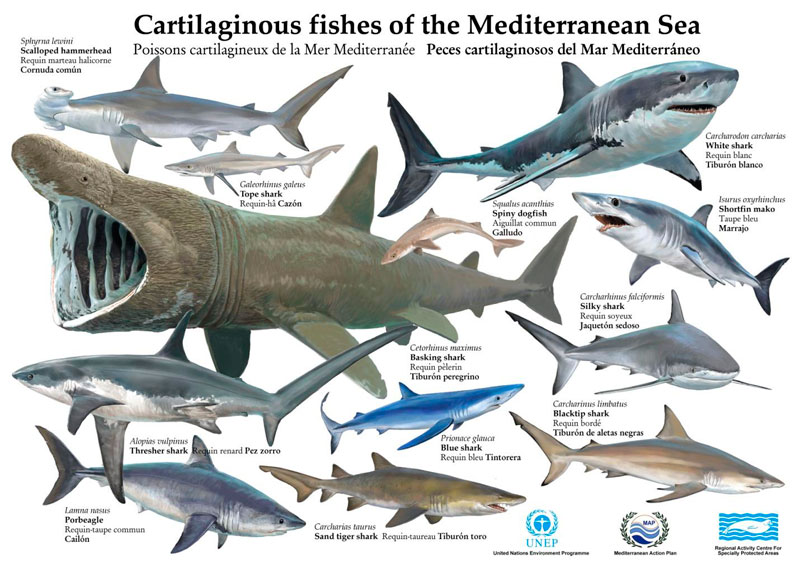 the characteristics of sharks a marine species A small, very slim requiem shark with a long snout, big eyes with posterior  notches, labial furrows very short or rudimentary, small,  diagnostic features.