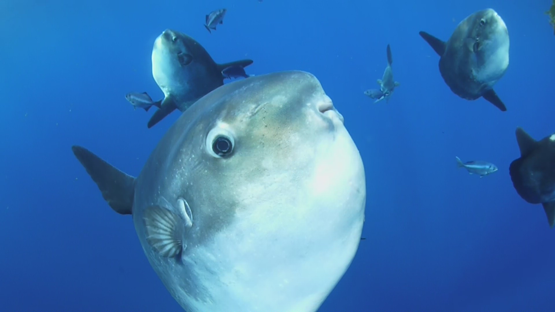 how to cook ocean sunfish