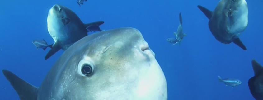 sunfish or moon fish, scuba diving with black frog divers in la herradura, best diving sites of spain
