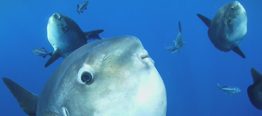 sunfish or moon fish, scuba diving with black frog divers in la herradura, best diving sites of spain