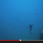 mola mola, sunfish, moonfish, scuba diving