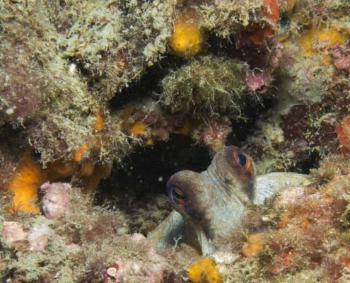 octopus head sticking out of the rocks, exploring the world