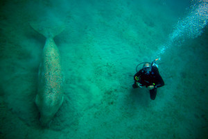 Marcin scuba diving in Egypt close to a  dugong